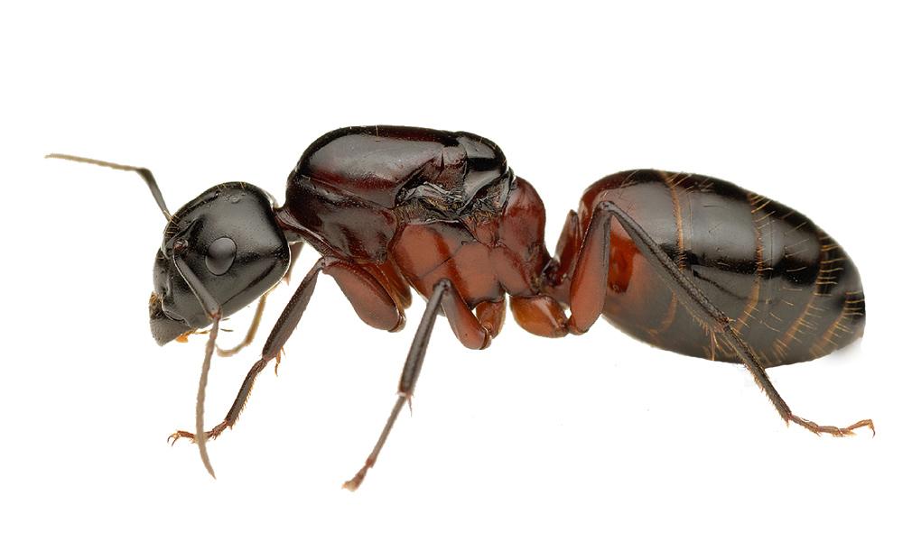 fourmi charpentière - Camponotus Ligniperdus