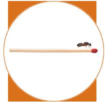fourmi charpentière