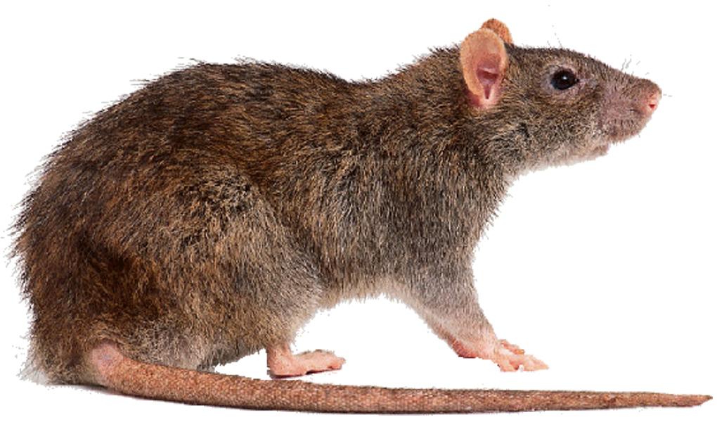 rat brun surmulot - rattus norvegicus