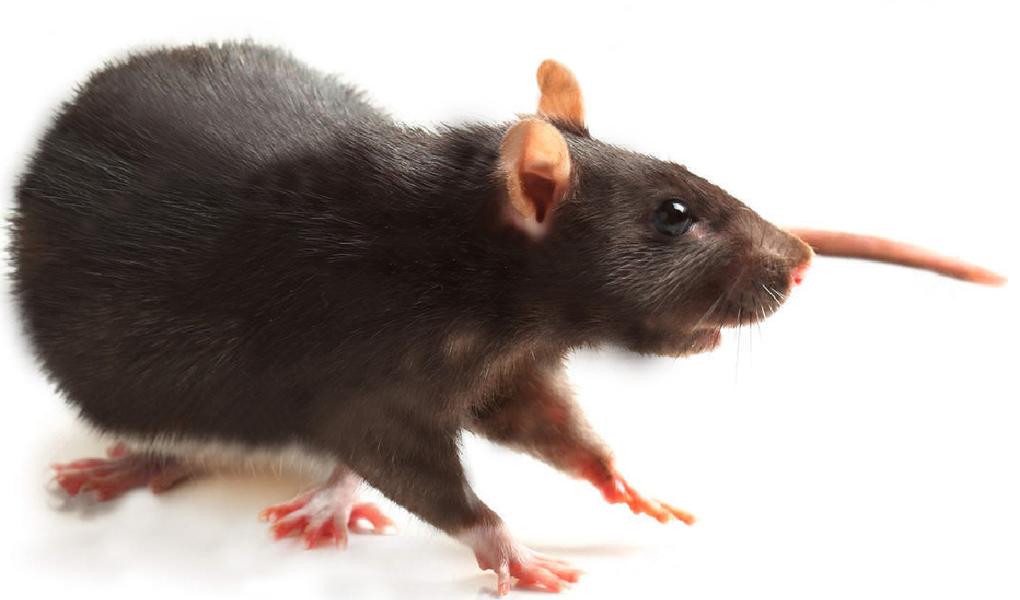 rat noir - rattus rattus