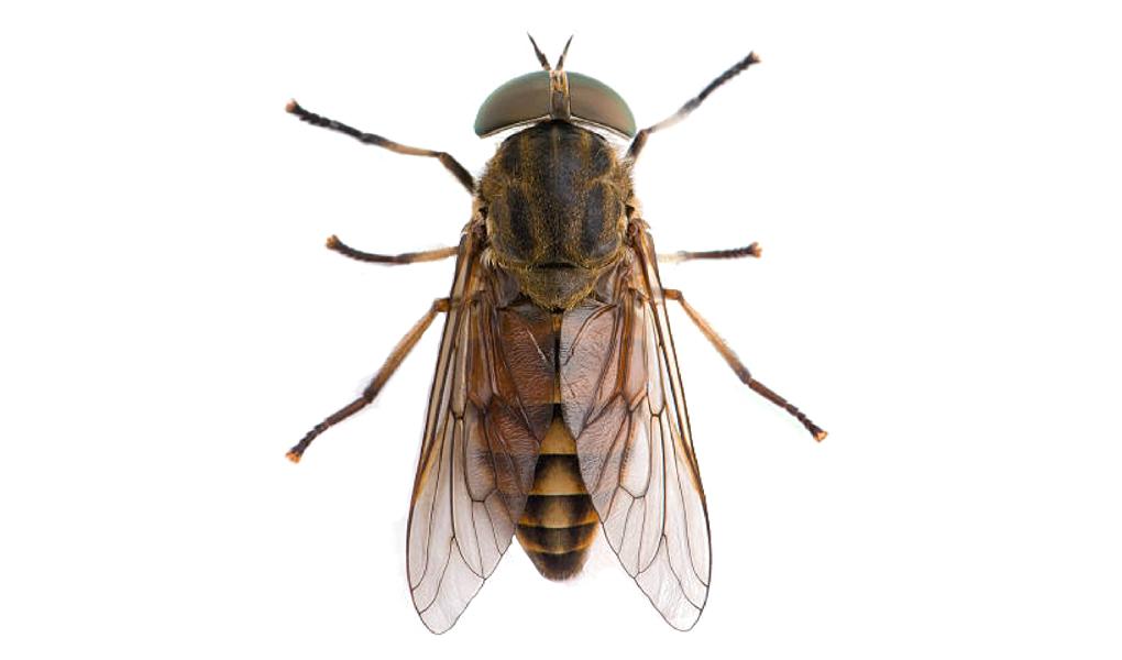 Taon - Tabanidae